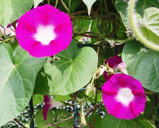 朝顔は夏の花