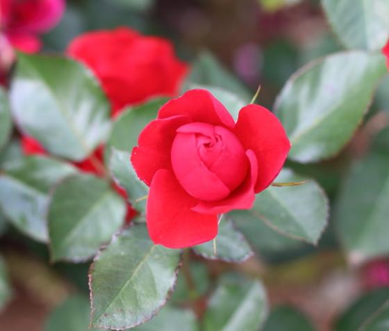 コンチェルティーノは赤色バラ