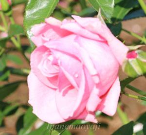 ラヴィーニアはローズピンク色