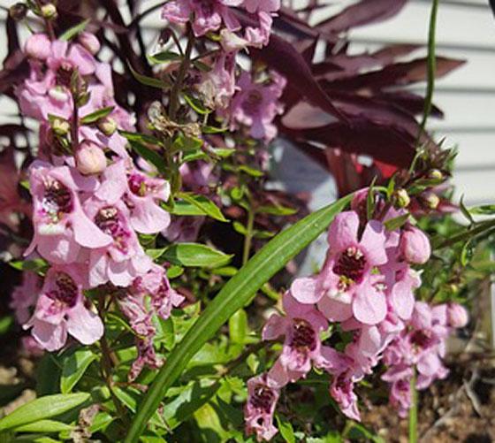 アンゲロニアは開花期の長い花
