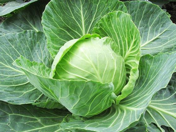 キャベツは野菜です