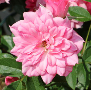 小輪咲きのバラ