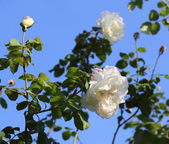 白色系のつるバラ