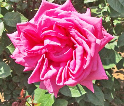 ローズピンク色のバラです