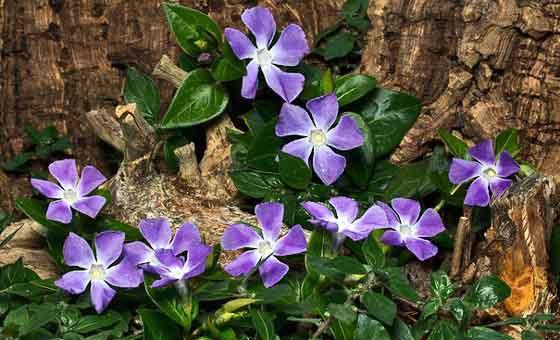 ニチニチソウは夏に咲く花