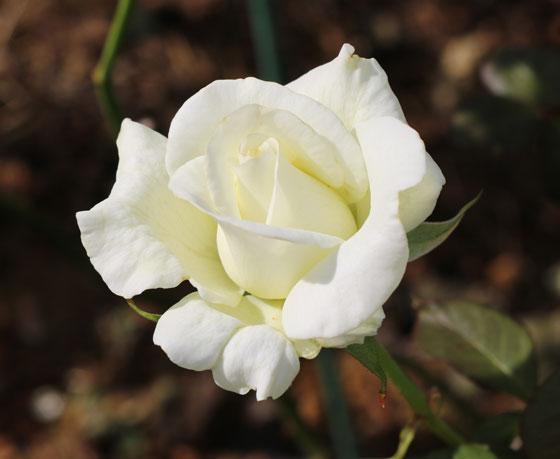 大輪咲き品種