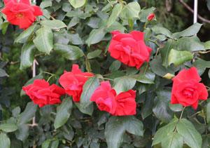 朱赤色のバラ