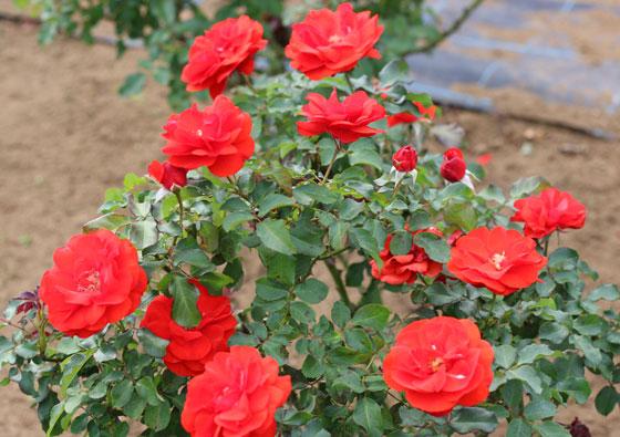 濃いオレンジ色のバラ