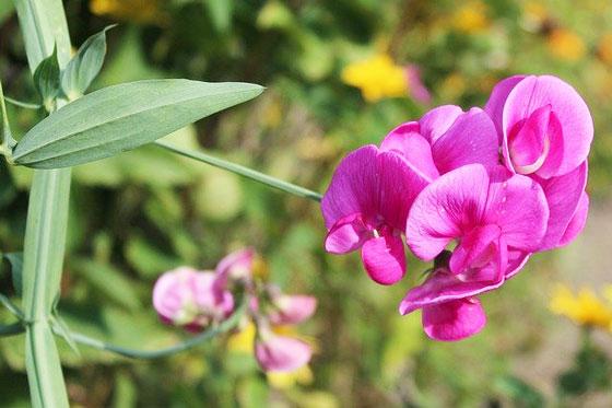 マメ科の草花