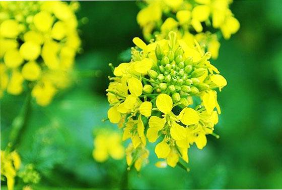 アブラナ科の植物