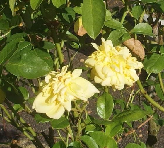 ベルロマンティカは黄色バラ
