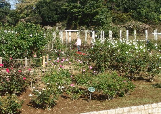秋バラの咲く生田緑地ばら苑