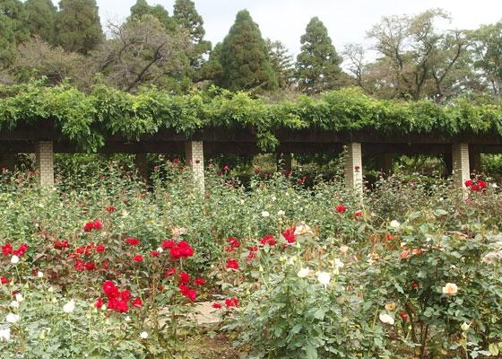 赤色系の秋バラも咲いていた