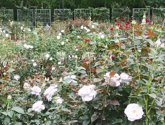 秋バラの咲く神代植物公園