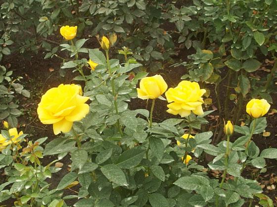 黄色の秋バラ