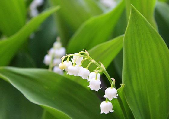 スズランは春に咲く花
