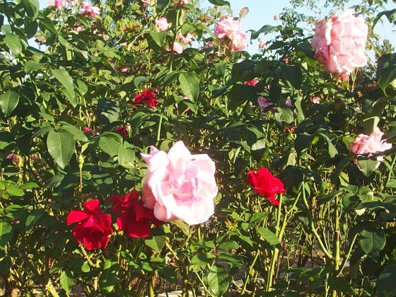花菜ガーデンの秋バラ