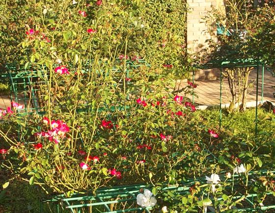 秋の花菜ガーデン