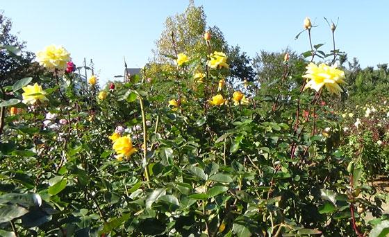 秋のバラ園にて