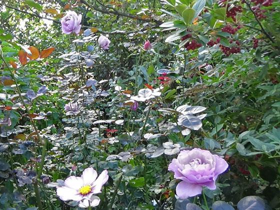 青紫色のバラ