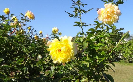 ファイヤーワークスは黄色のバラ