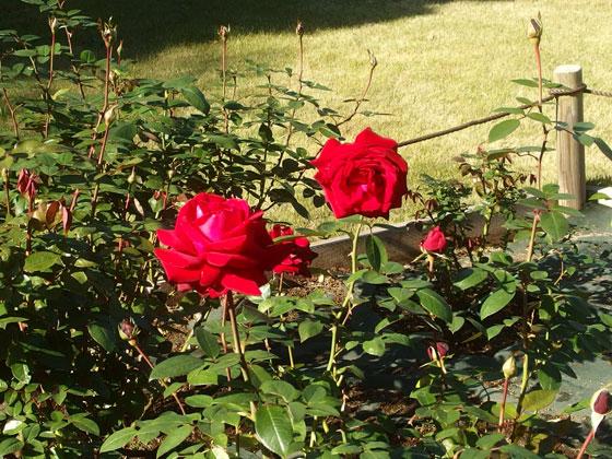 生田緑地ばら苑のバラ