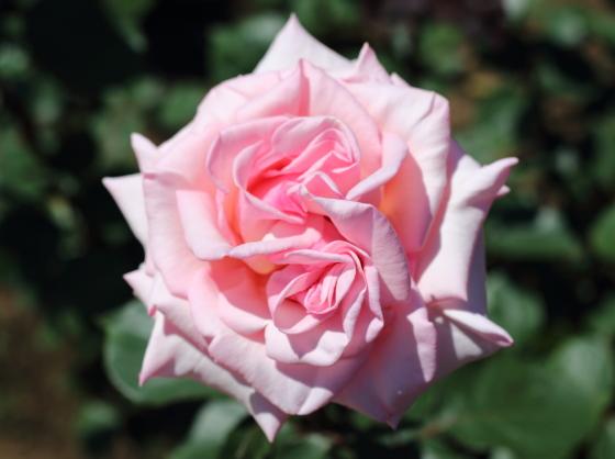 賛美はピンク色のバラ