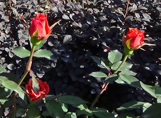 茶褐色のバラ