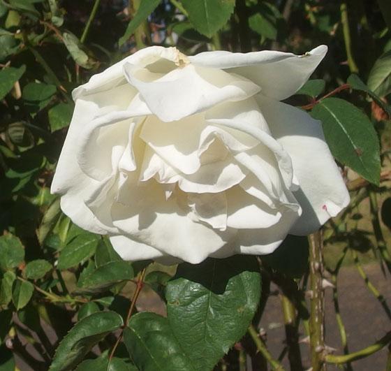 白秋は白色のバラ