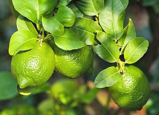 レモンは果樹です