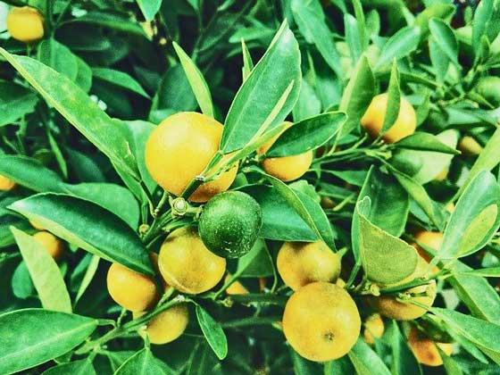 レモンは柑橘類