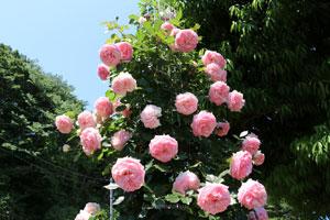 ピエールドゥロンサールはつるバラ
