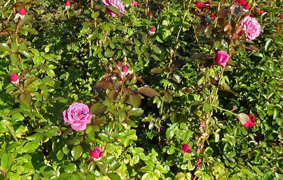 丸弁ロゼット咲き