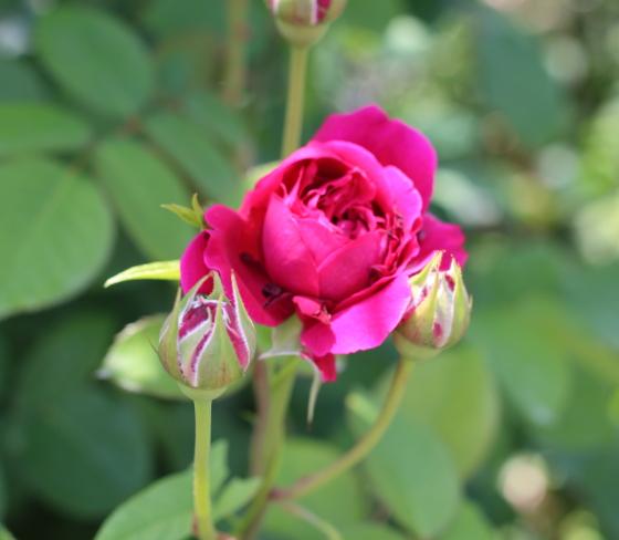 濃い紅紫色のバラ