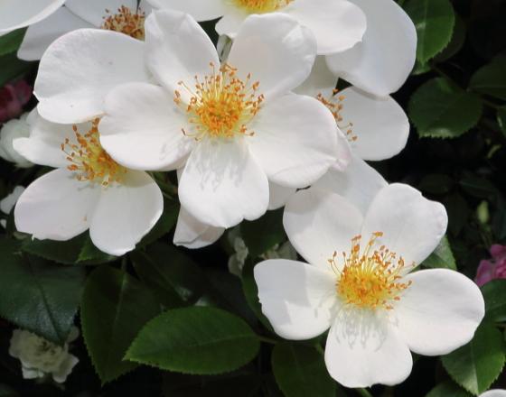 一重咲きの白バラです