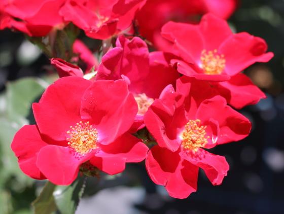 ホームランは赤色のバラ