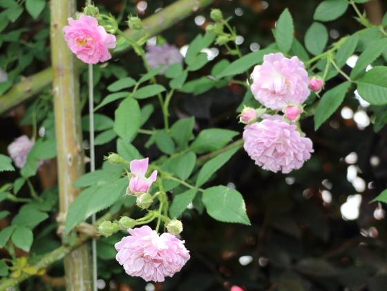 野生種のつるバラ