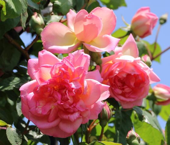 ローうピンク色のつるバラ