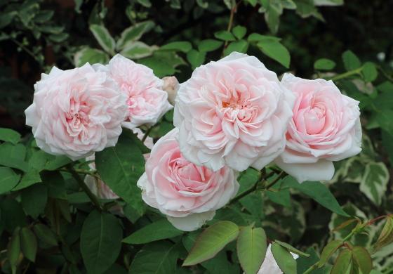 ブルボン系統のピンクのバラ