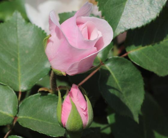 ブルボン系統のピンク色のバラ