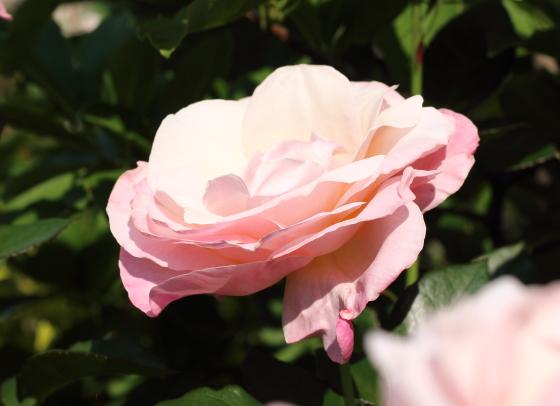 大輪咲きのバラ
