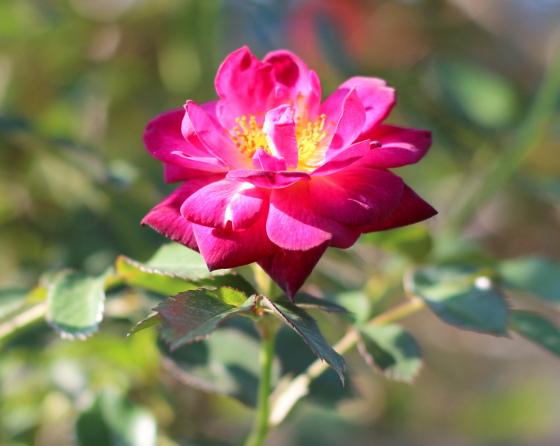 鮮やかな紫色のバラ