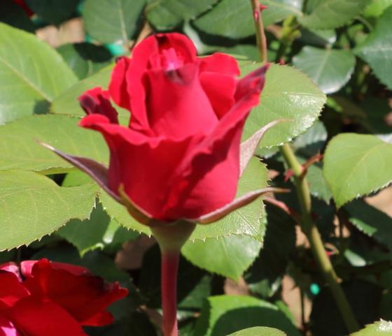 ドンファンは赤色のバラ