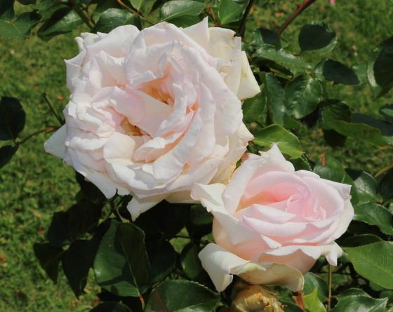 大輪咲きのピンク色のバラ