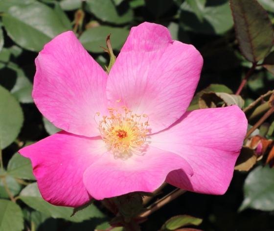 チャイナ系統のバラ