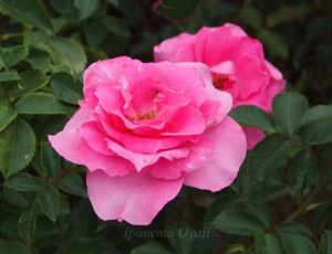 うららはローズピンク色のバラ