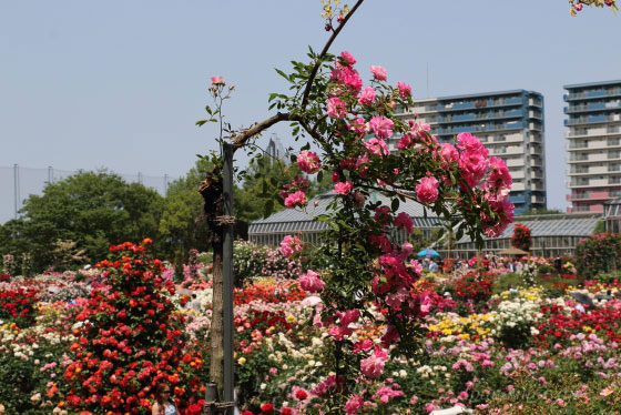 春のバラ園の風景
