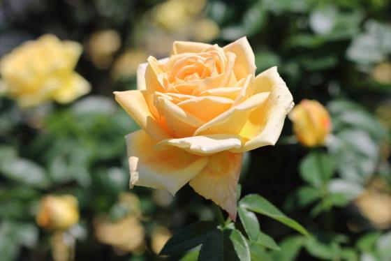 天津乙女は黄色のバラ