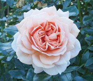 ロゼット咲きの大輪種