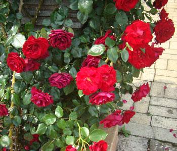 グランドホテルは赤色のバラ